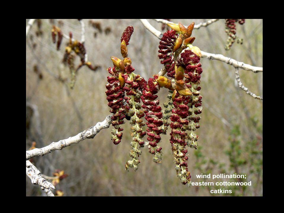 eastern cottonwood catkins