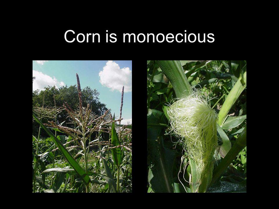 Corn is monoecious