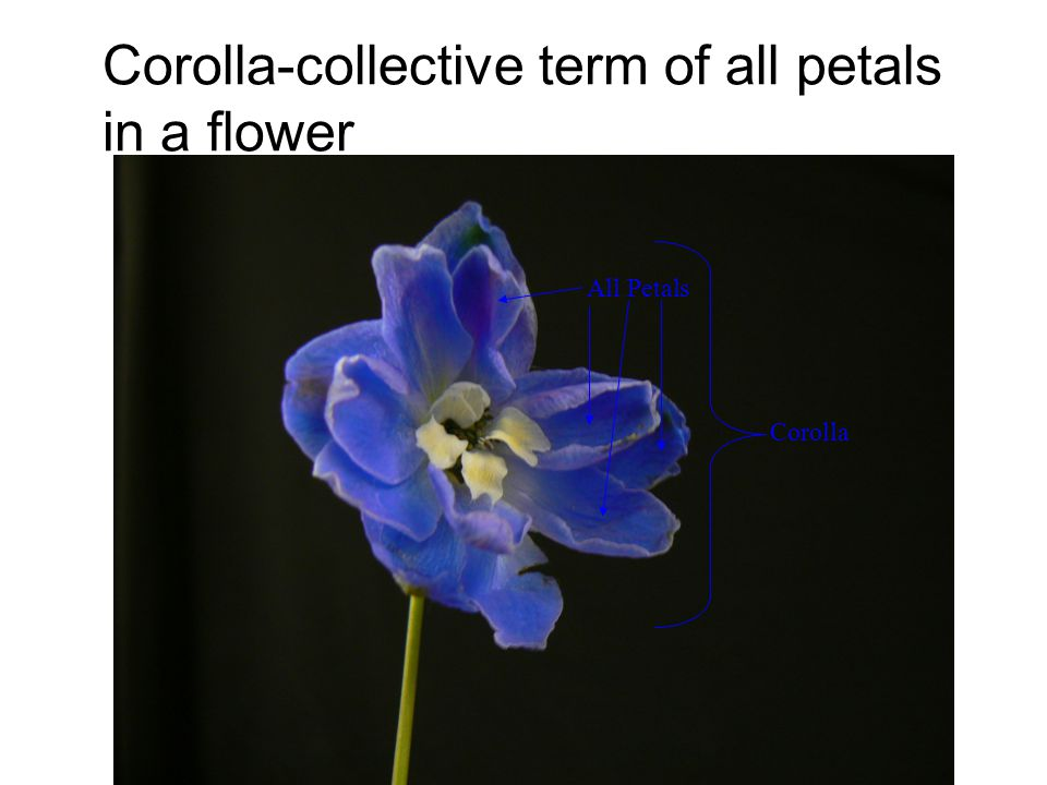 Corolla-collective term of all petals in a flower