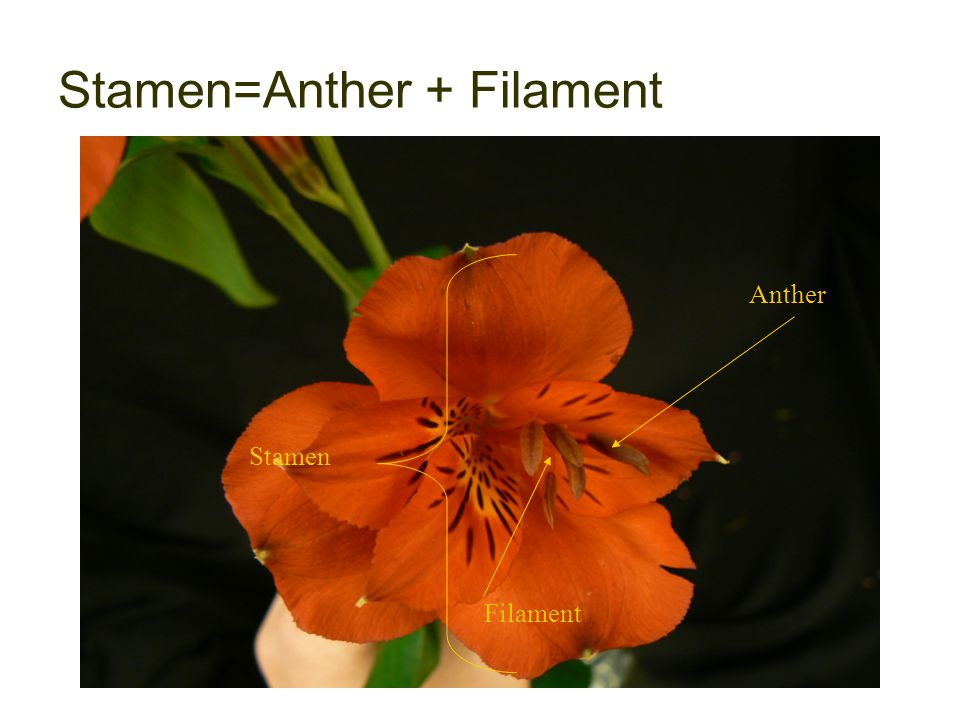 Stamen=Anther + Filament