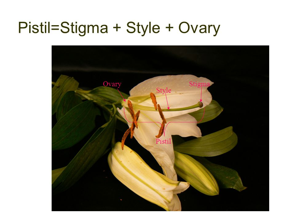 Pistil=Stigma + Style + Ovary