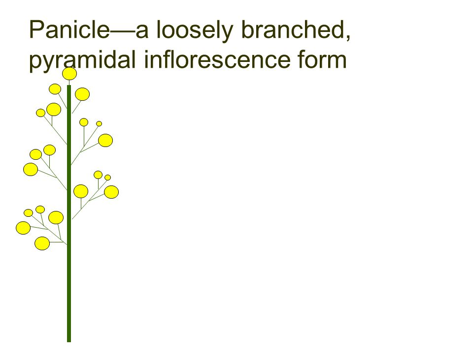 Panicle—a loosely branched, pyramidal inflorescence form