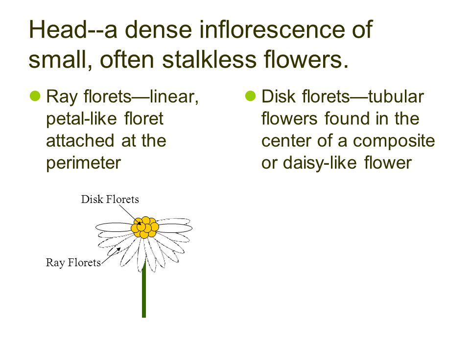 Head--a dense inflorescence of small, often stalkless flowers.