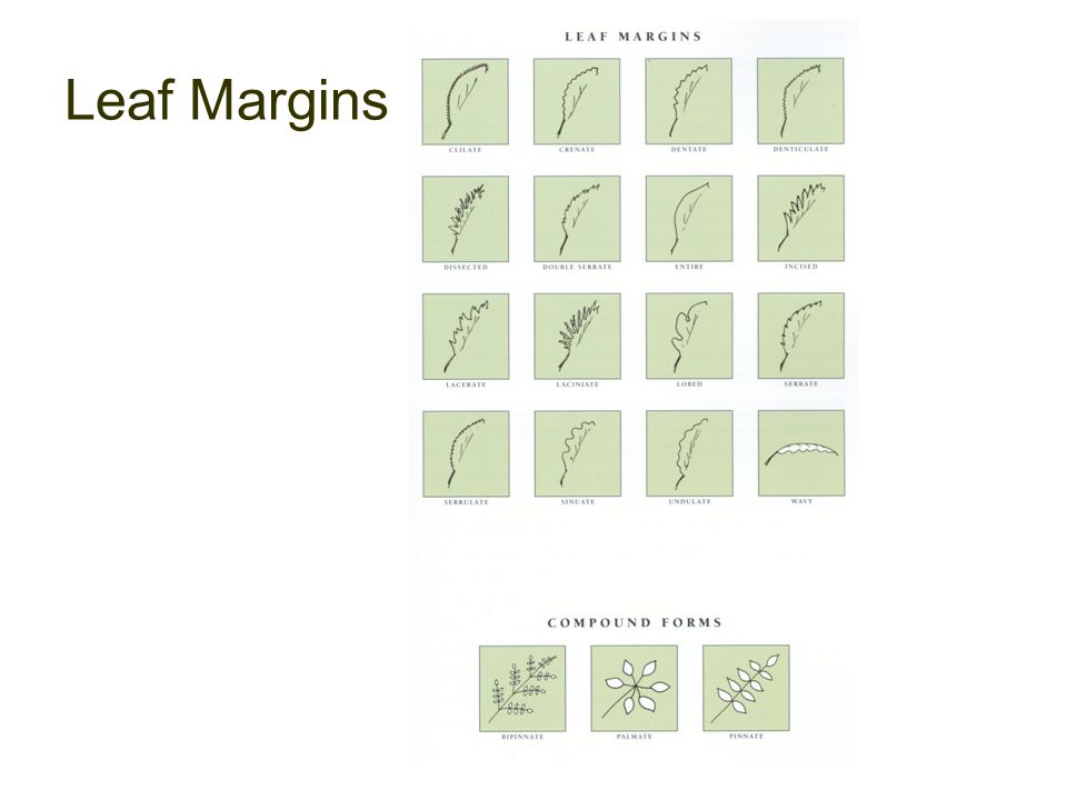 Leaf Margins The American Institute of Floral Designers, The AIFD Guide to Floral Design: Terms, Techniques, and Traditions.