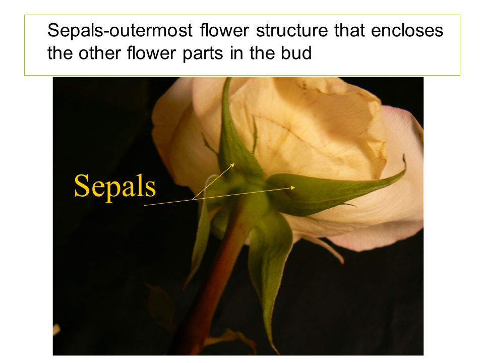 Sepals-outermost flower structure that encloses the other flower parts in the bud
