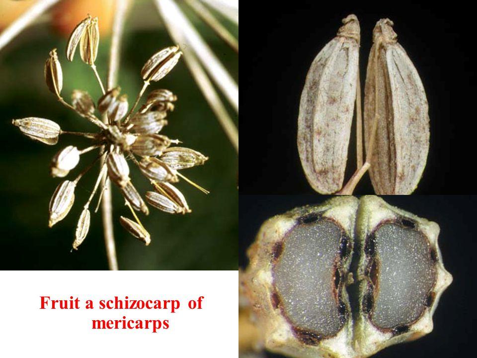 Fruit a schizocarp of mericarps