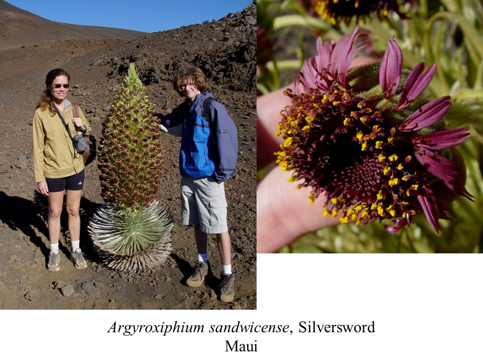 Argyroxiphium sandwicense, Silversword Maui