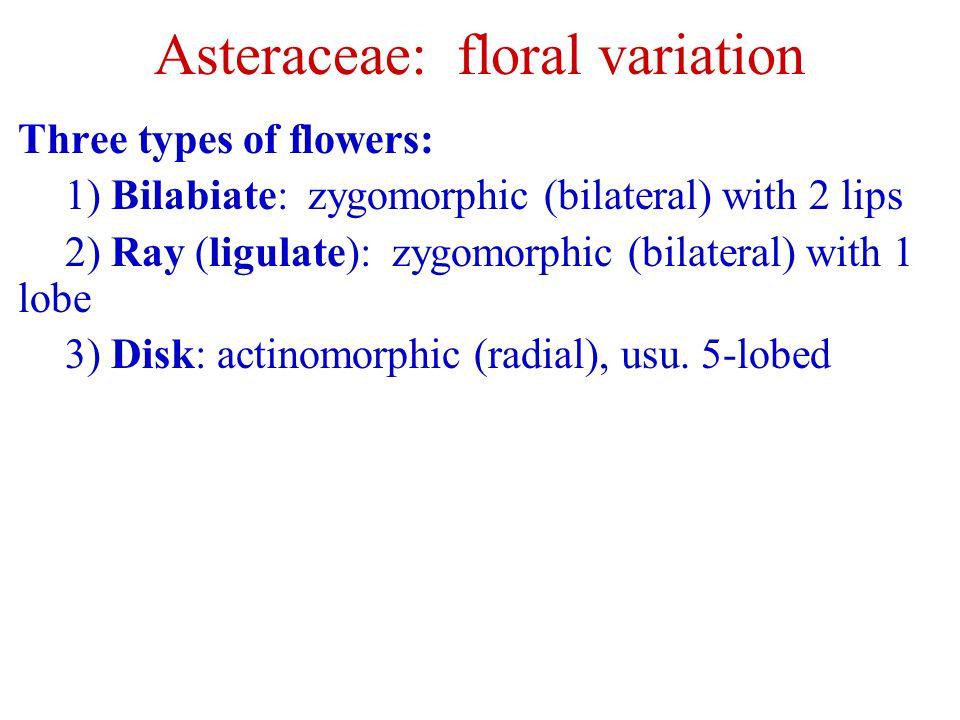Asteraceae: floral variation