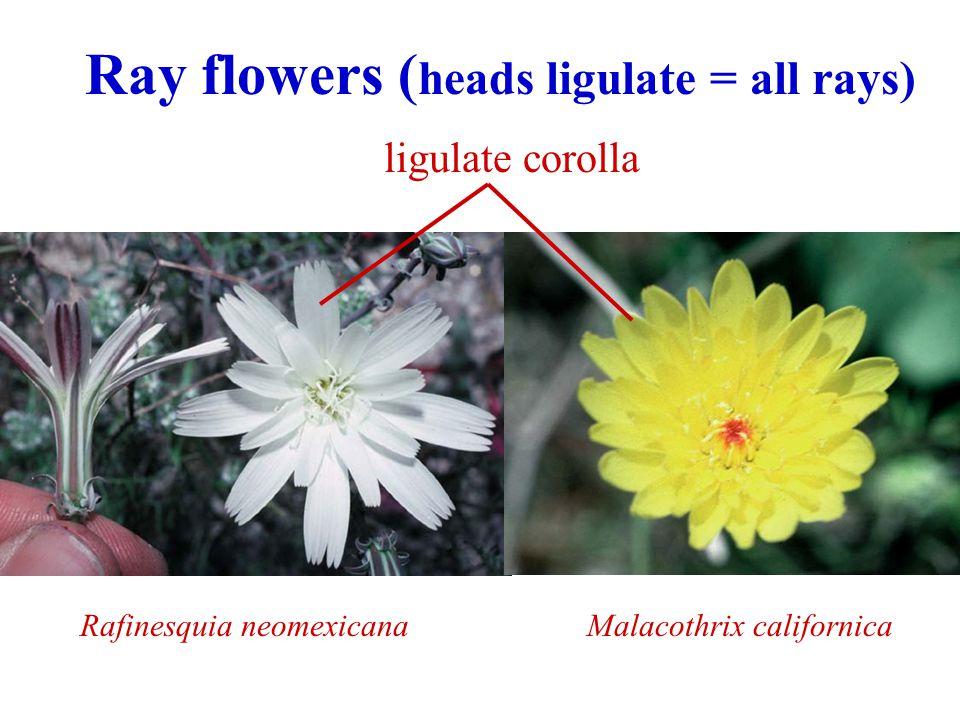 Ray flowers (heads ligulate = all rays)