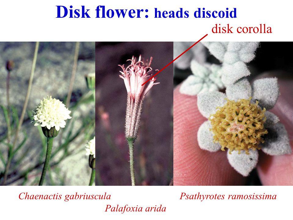 Disk flower: heads discoid