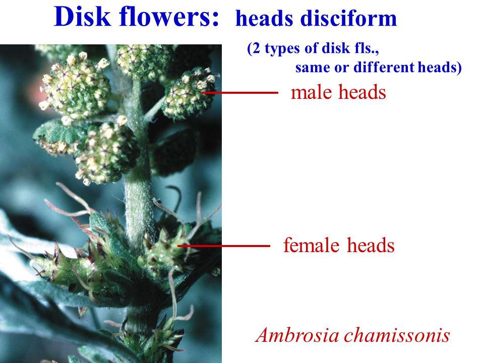 Disk flowers: heads disciform. (2 types of disk fls. ,