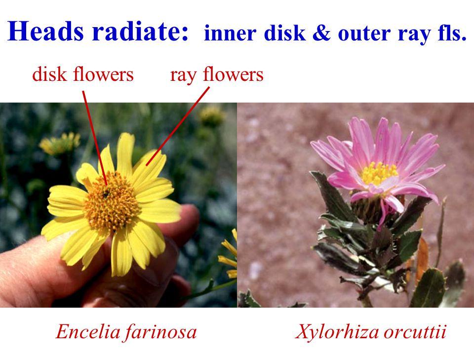 Heads radiate: inner disk & outer ray fls.