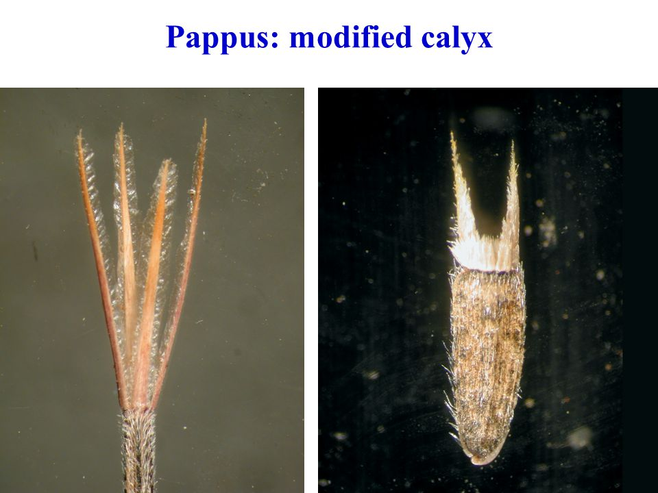 Pappus: modified calyx
