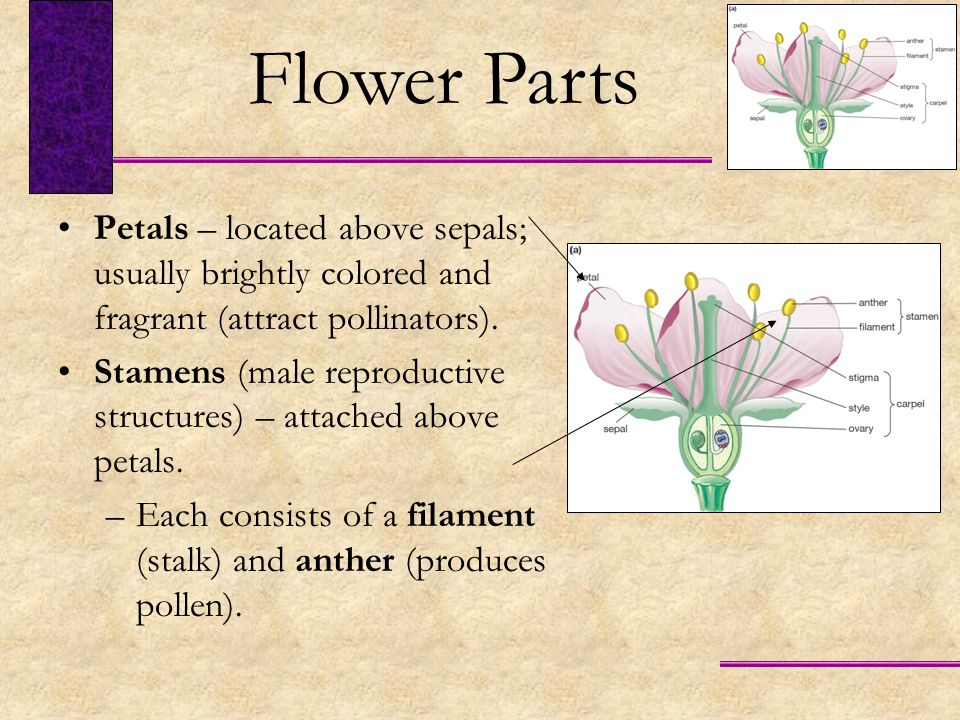 Flower Parts Petals – located above sepals; usually brightly colored and fragrant (attract pollinators).