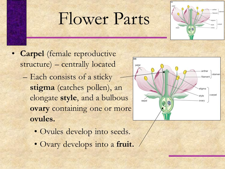 Flower Parts Carpel (female reproductive structure) – centrally located.