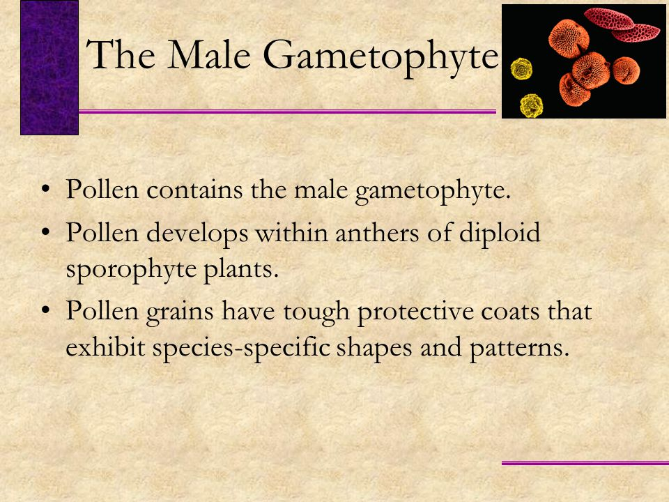 The Male Gametophyte Pollen contains the male gametophyte.