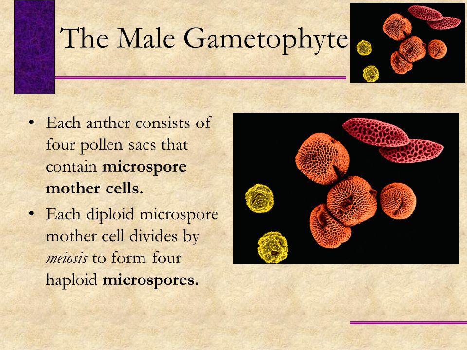 The Male Gametophyte Each anther consists of four pollen sacs that contain microspore mother cells.