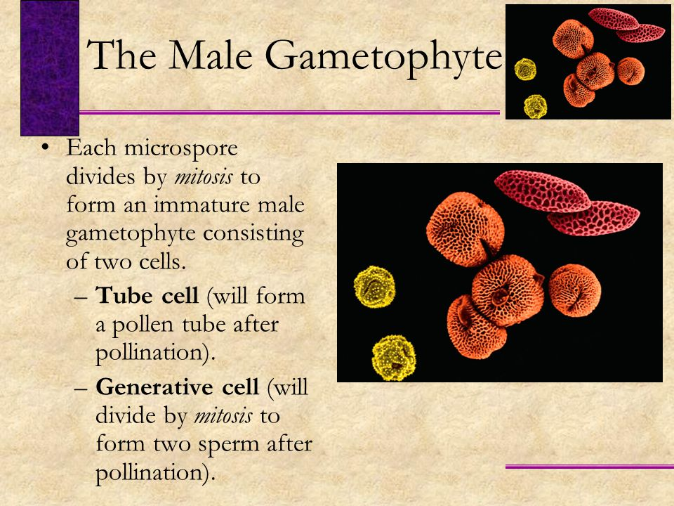 The Male Gametophyte Each microspore divides by mitosis to form an immature male gametophyte consisting of two cells.