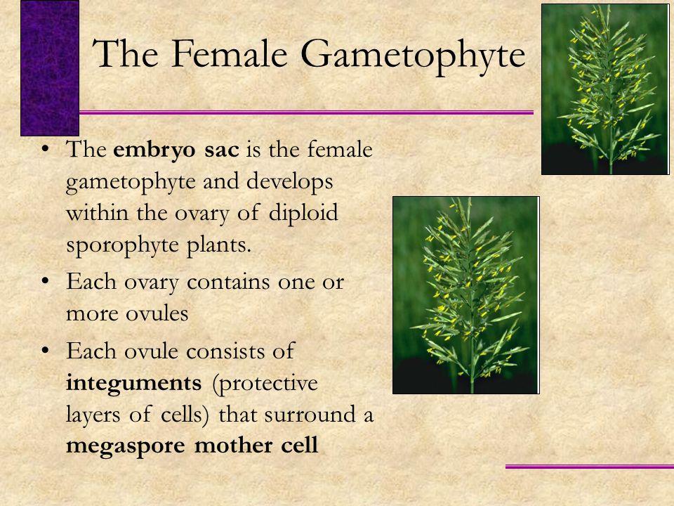 The Female Gametophyte
