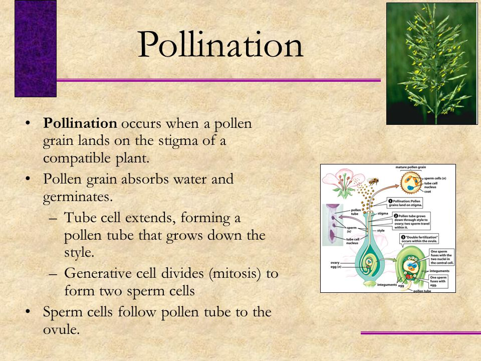 Pollination Pollination occurs when a pollen grain lands on the stigma of a compatible plant. Pollen grain absorbs water and germinates.