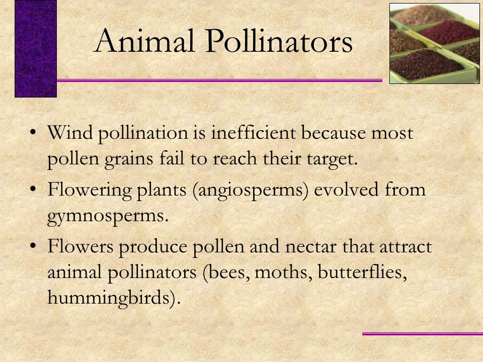 Animal Pollinators Wind pollination is inefficient because most pollen grains fail to reach their target.