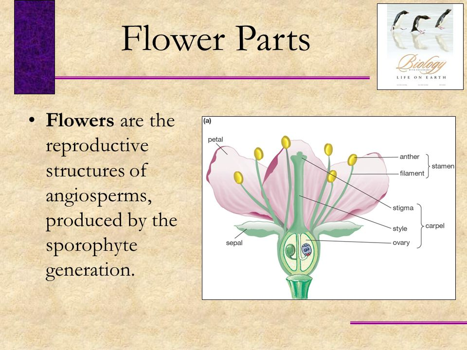 Flower Parts Flowers are the reproductive structures of angiosperms, produced by the sporophyte generation.