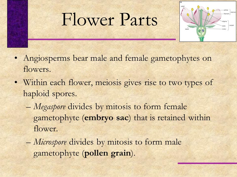 Flower Parts Angiosperms bear male and female gametophytes on flowers.