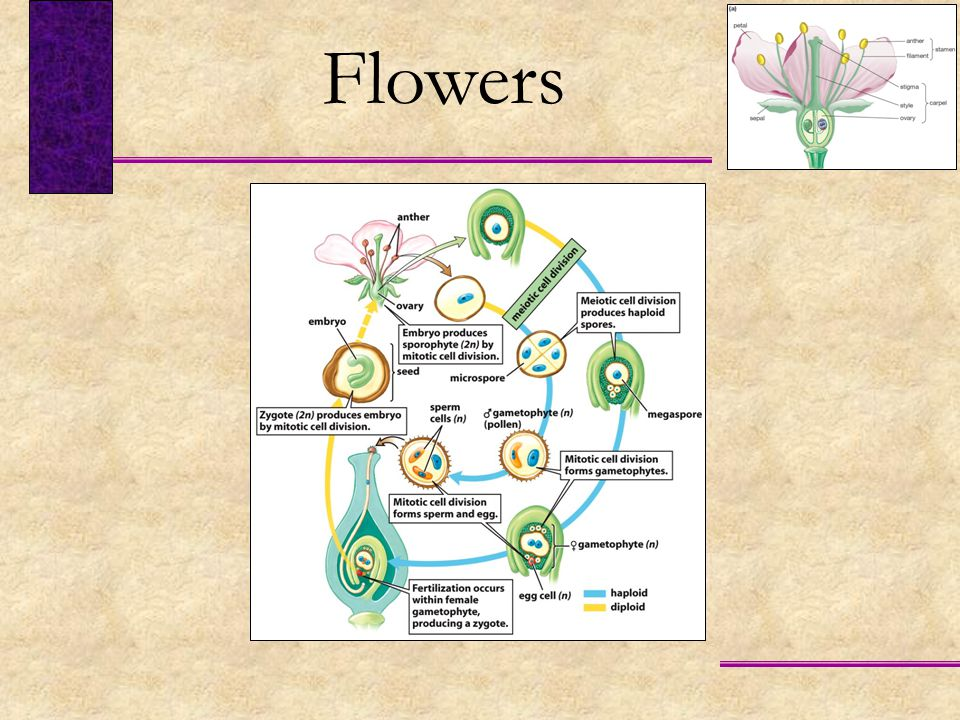 Flowers FIGURE 43-4 The life cycle of a flowering plant