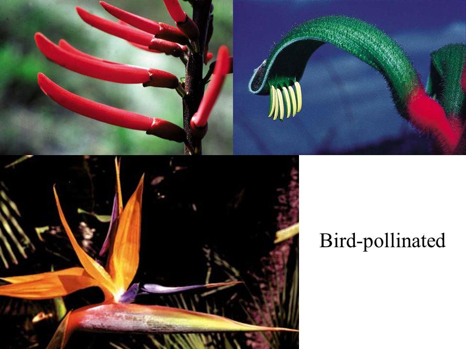 Bird-pollinated