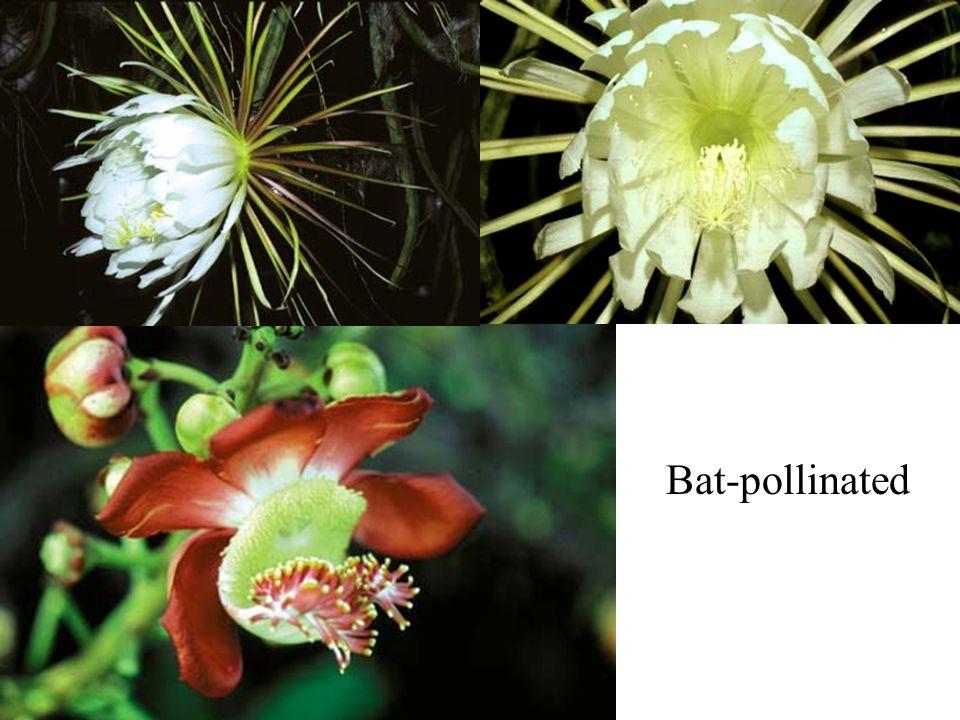 Bat-pollinated