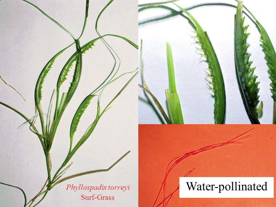 Water-pollinated Phyllospadix torreyi Surf-Grass