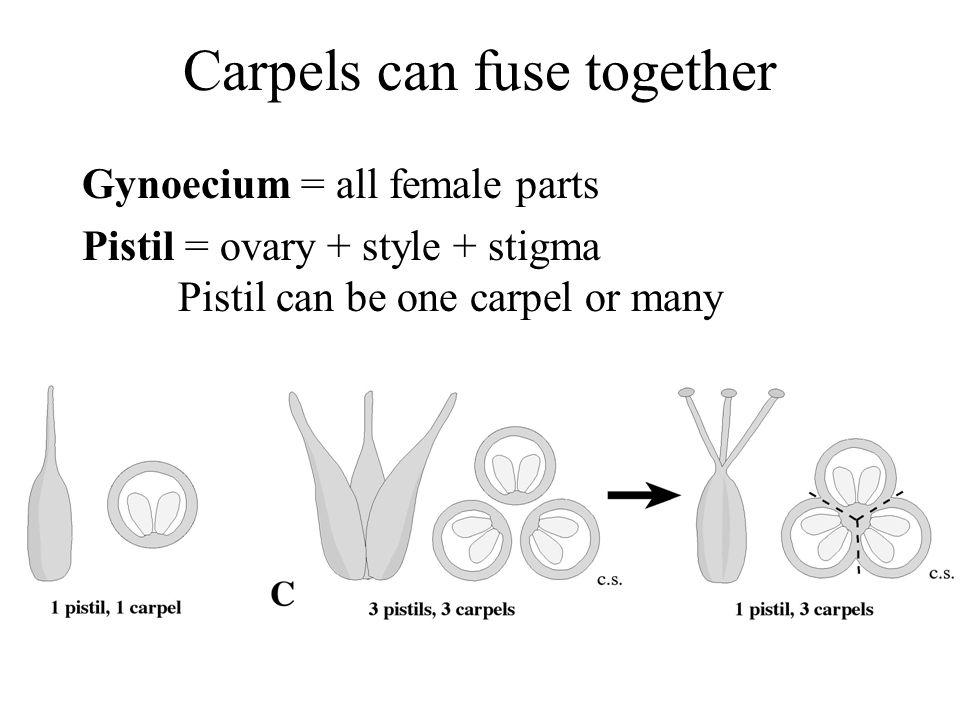 Carpels can fuse together