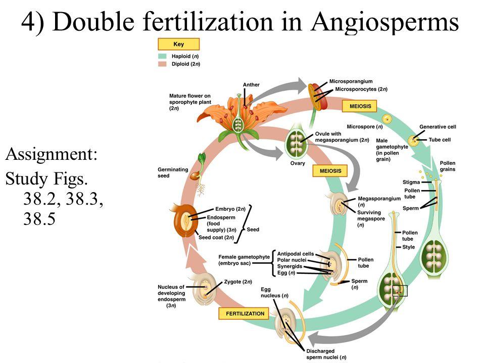4) Double fertilization in Angiosperms