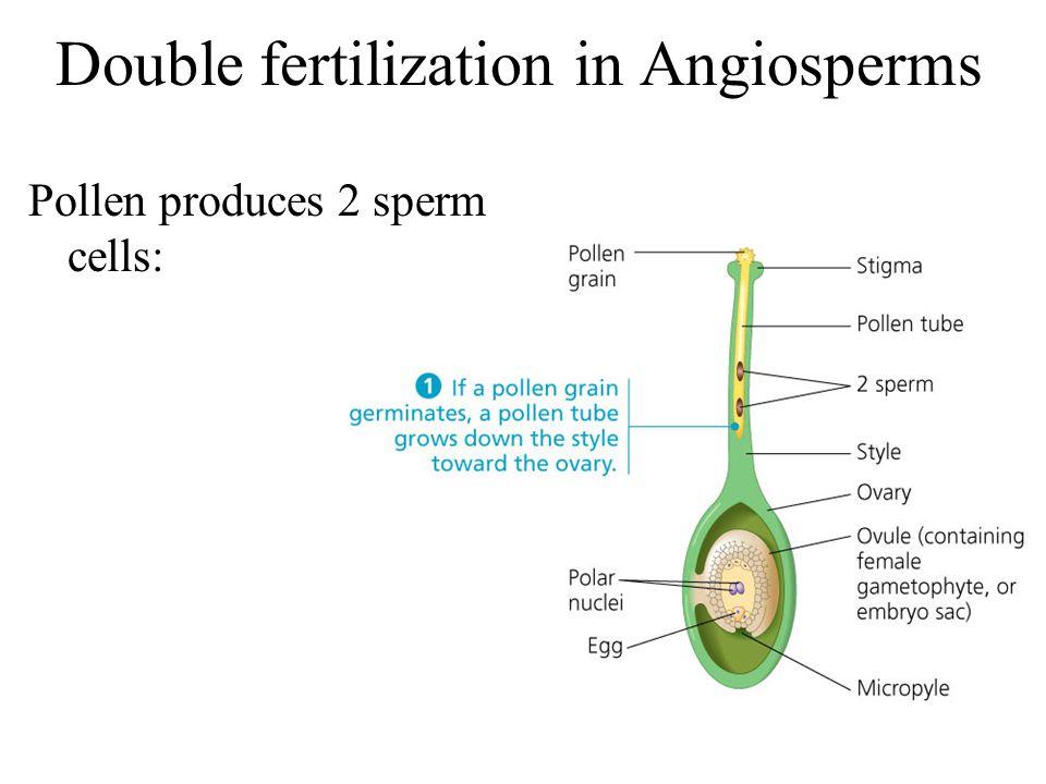 Double fertilization in Angiosperms
