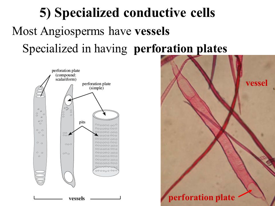 5) Specialized conductive cells Most Angiosperms have vessels