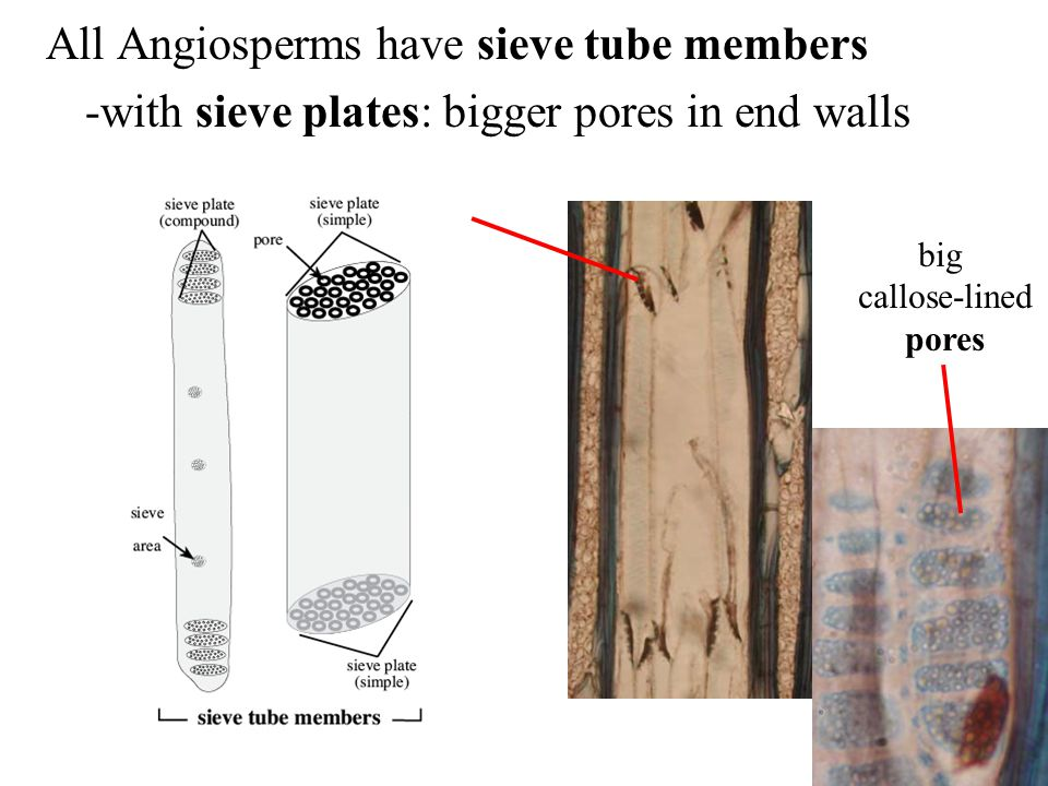 All Angiosperms have sieve tube members