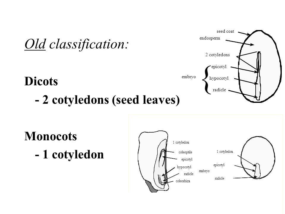 { Old classification: Dicots - 2 cotyledons (seed leaves) Monocots