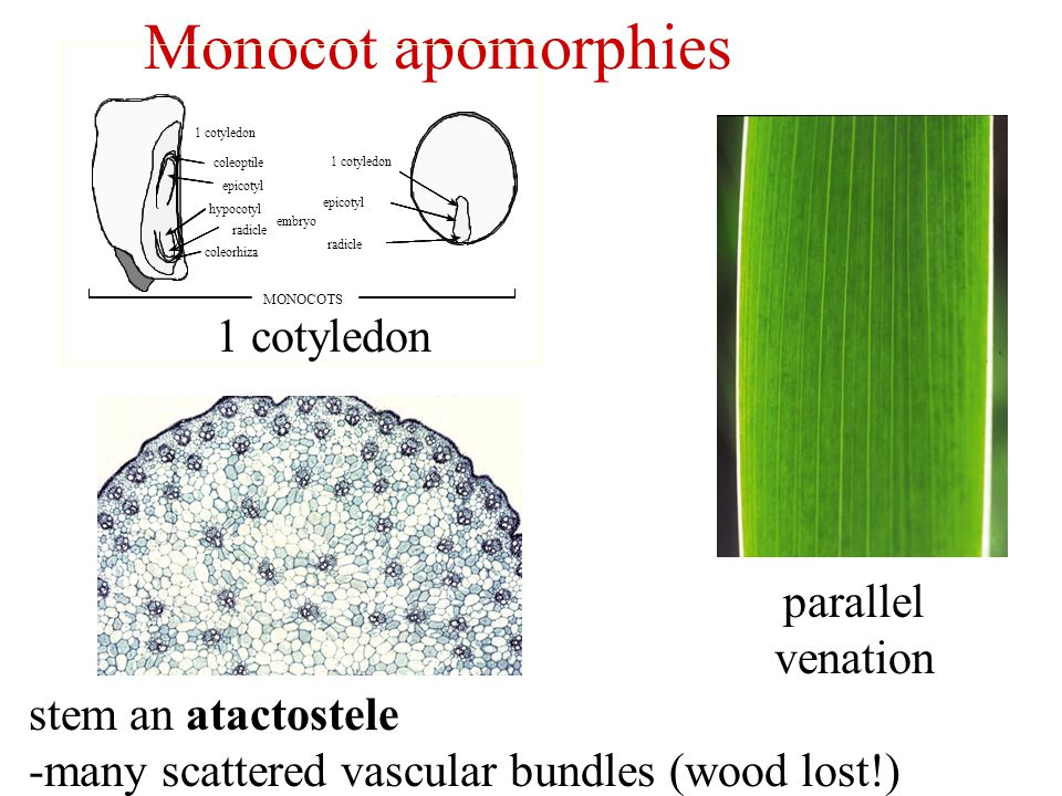 Monocot apomorphies 1 cotyledon parallel venation stem an atactostele