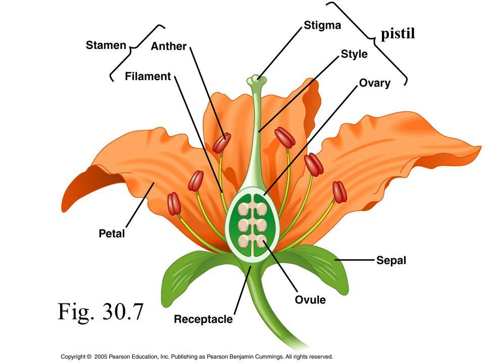 pistil Fig. 30.7