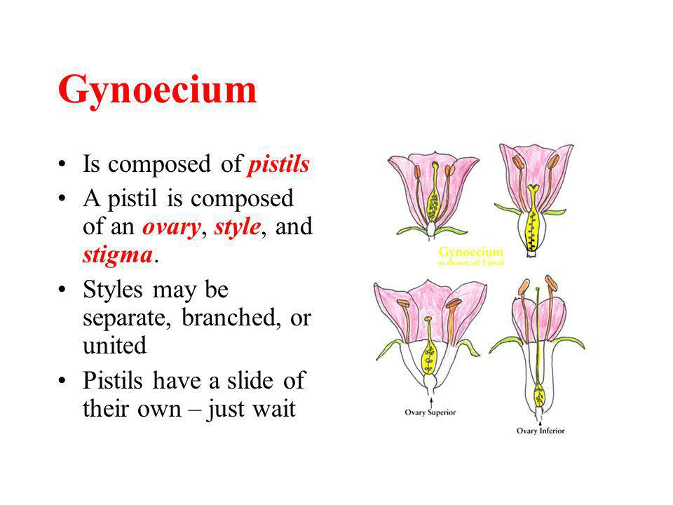 Gynoecium Is composed of pistils