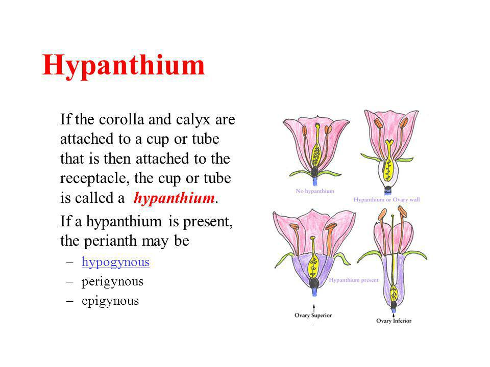 Hypanthium If the corolla and calyx are attached to a cup or tube that is then attached to the receptacle, the cup or tube is called a hypanthium.