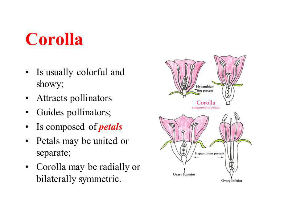 Corolla Is usually colorful and showy; Attracts pollinators