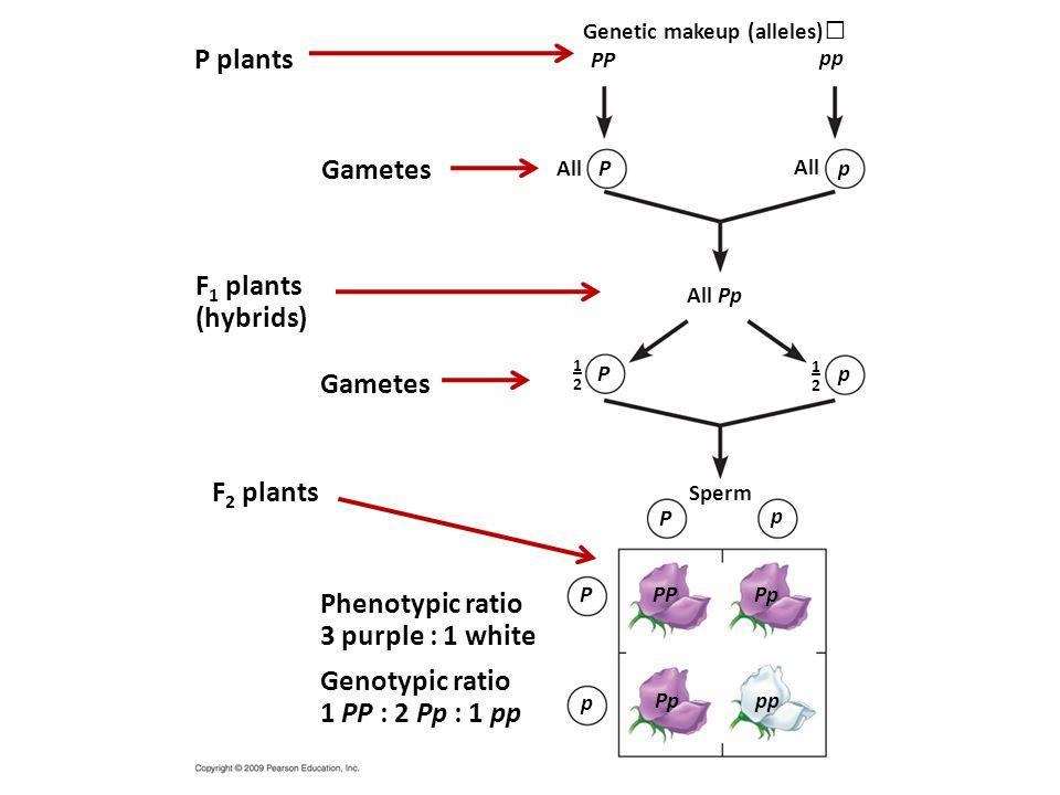 P plants Gametes F1 plants (hybrids) Gametes F2 plants