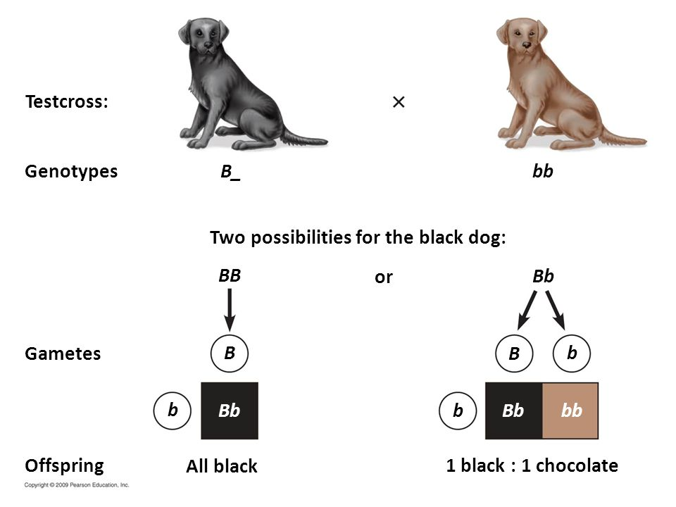 Testcross: Genotypes. B_. bb. Two possibilities for the black dog: BB. or. Bb. Gametes. B. B.
