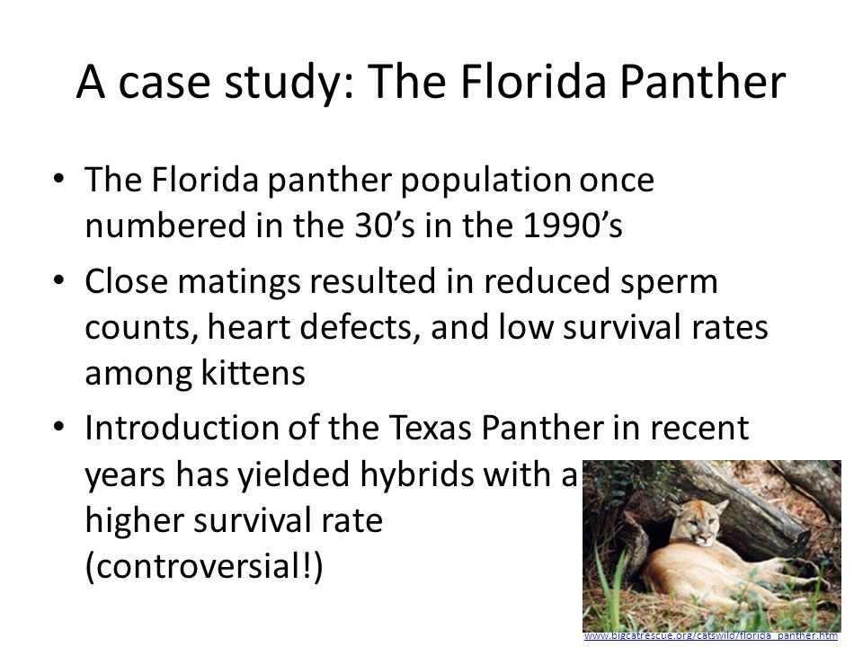 A case study: The Florida Panther