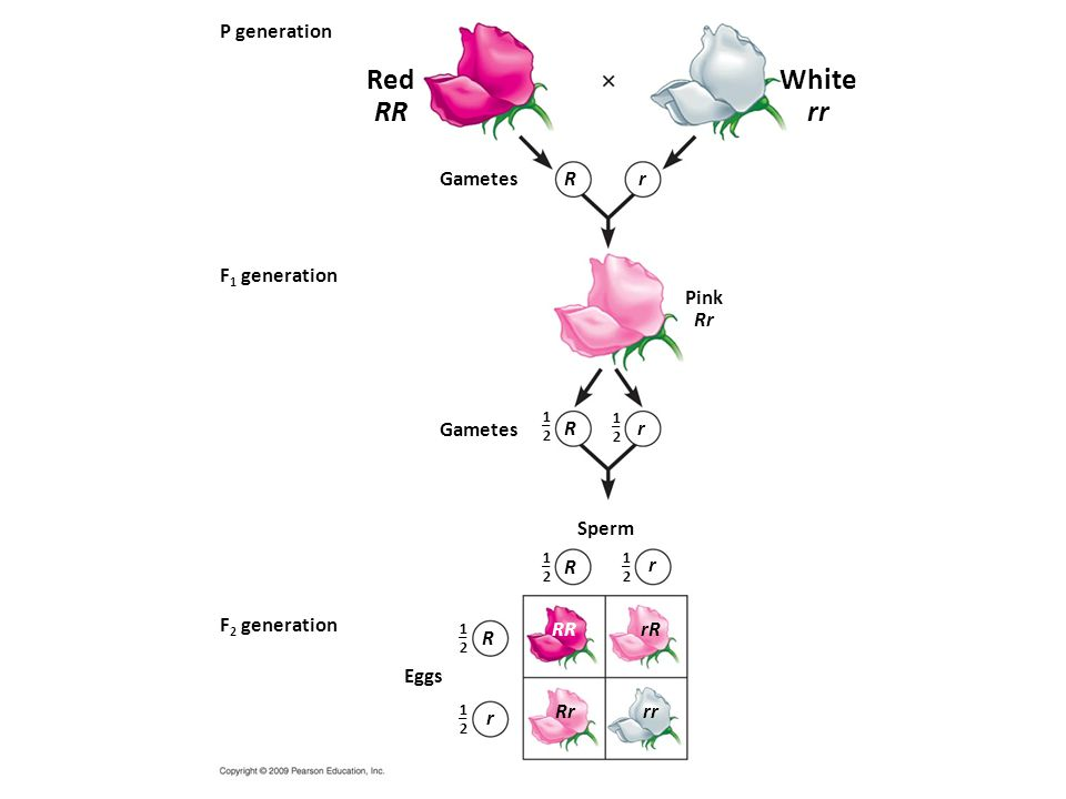 Red RR White rr P generation Gametes R r F1 generation Pink Rr Gametes
