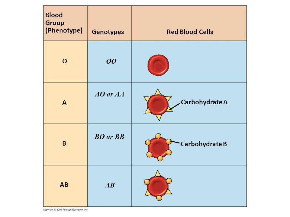 Blood Group. (Phenotype) Genotypes. Red Blood Cells. O. OO. AO or AA. A. Carbohydrate A. BO or BB.