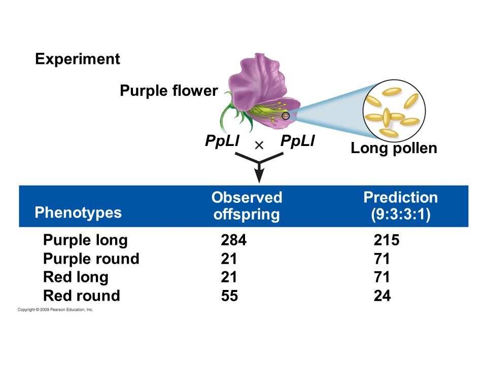 Experiment Purple flower. PpLl. PpLl. Long pollen. Observed. offspring. Prediction. (9:3:3:1)