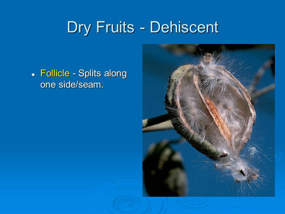 Dry Fruits - Dehiscent Follicle - Splits along one side/seam.