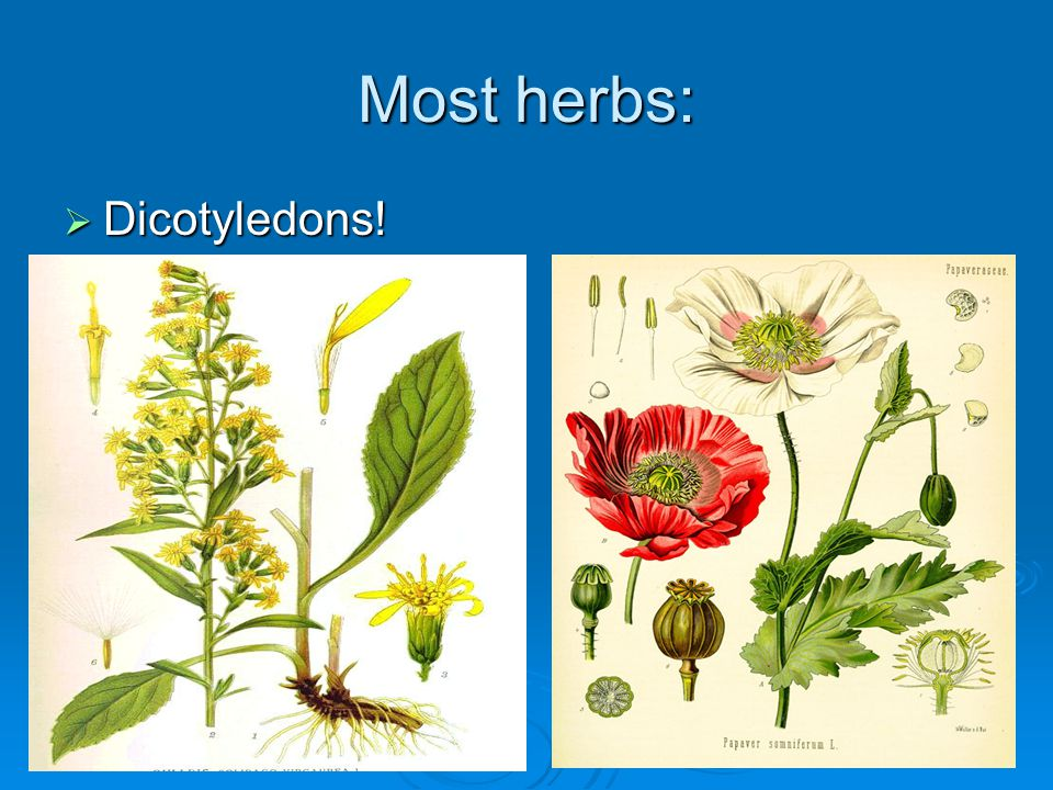 Most herbs: Dicotyledons!